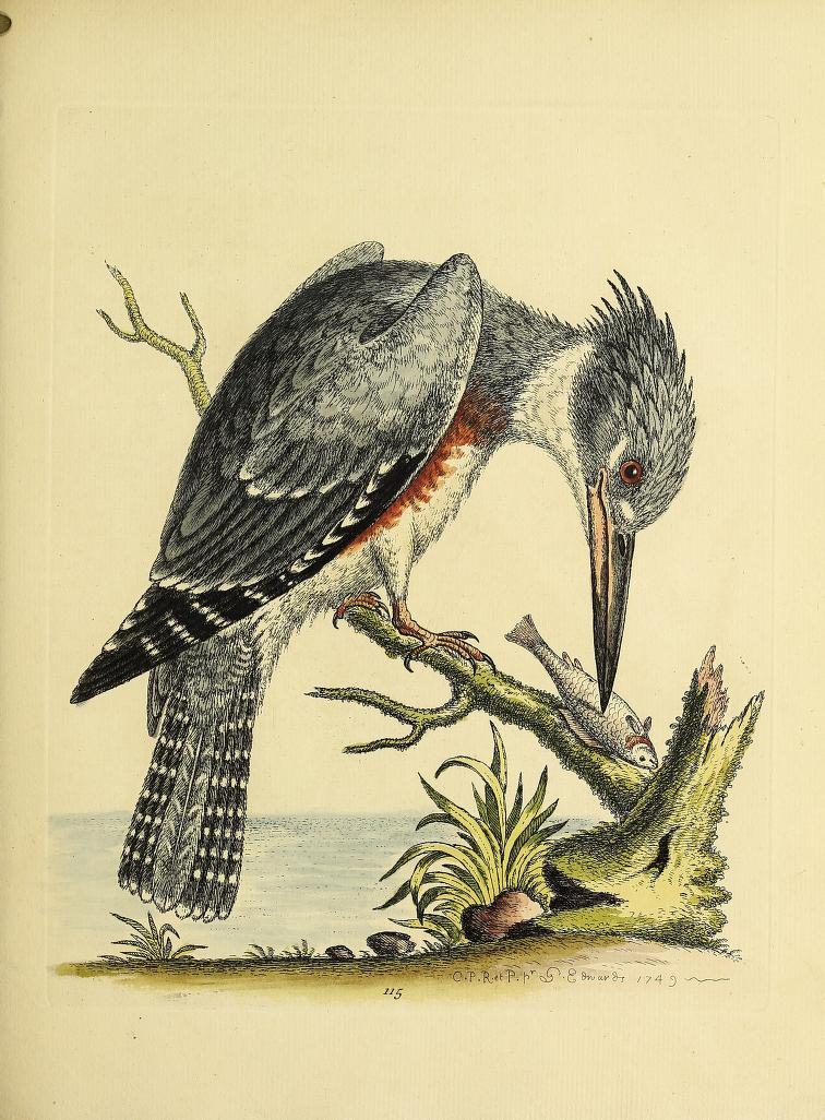 Color engraving of a belted kingfisher perched on a stick with a fish